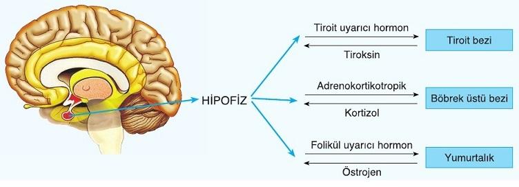hormon testosteron