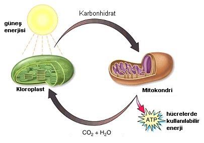 kloroplast ve mitokondri ilişkisi